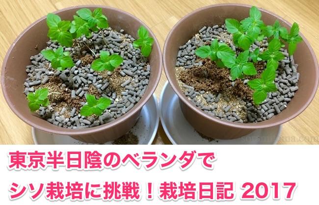 【随時更新】東京の半日陰ベランダでシソを育てる。栽培日記2017(2年目)